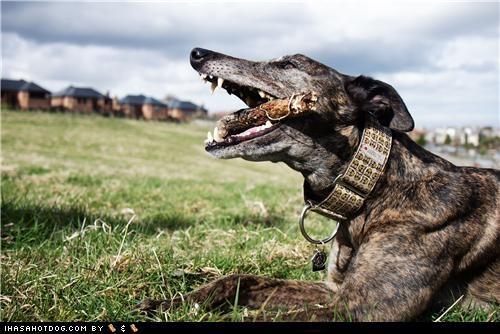 chew chew toy chewing fun goggie ob teh week grass greyhound happy happy dog outdoors play playing stick - 5195264768