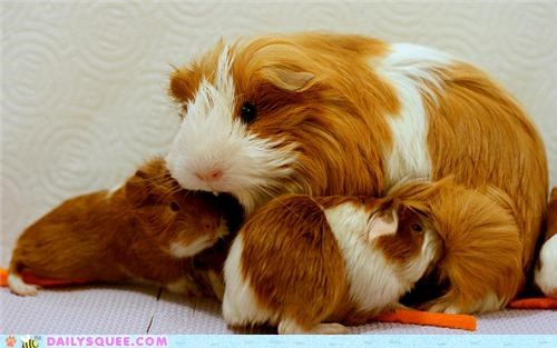 Babies baby contest feeding guinea pig guinea pigs mother nomming noms nursing squee spree winner winners - 5195592448