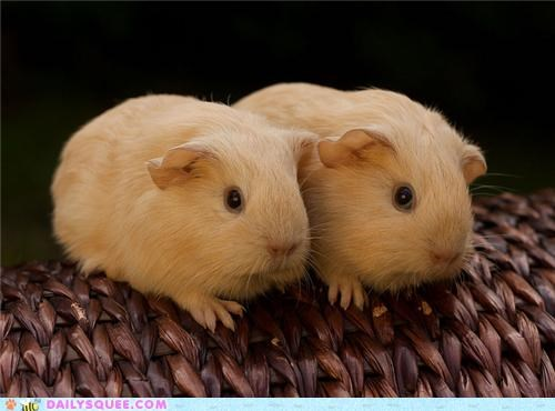 Babies baby guinea pig guinea pigs pun seeing double siblings squee spree twins two - 5196861440