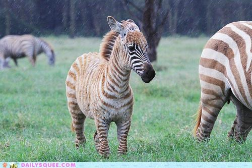 baby color coloration cuter difference foal zebra zebras - 5197034752