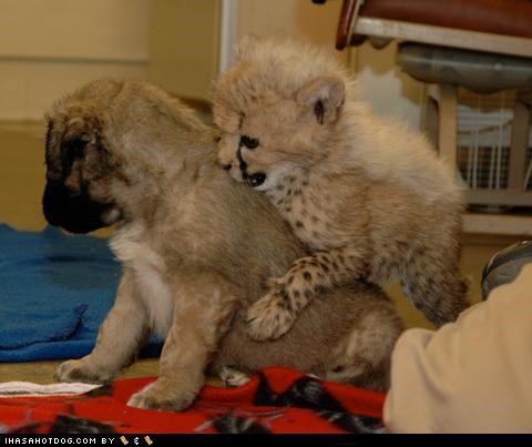 anatolian shepherd best friends cheetah friends friendship kittehs r owr friends Video - 5198747648