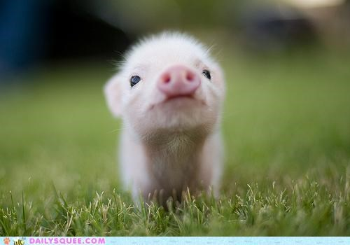 adorable babe baby classic Hall of Fame happy look pig piglet quote smiling sufficient thatll-do unbearably squee - 5199240448