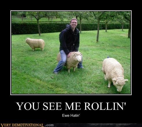 ewe hating hilarious rolling sheep