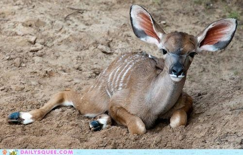 baby calf greater kudu kudu mother parent whatsit whatsit wednesday - 5200022528