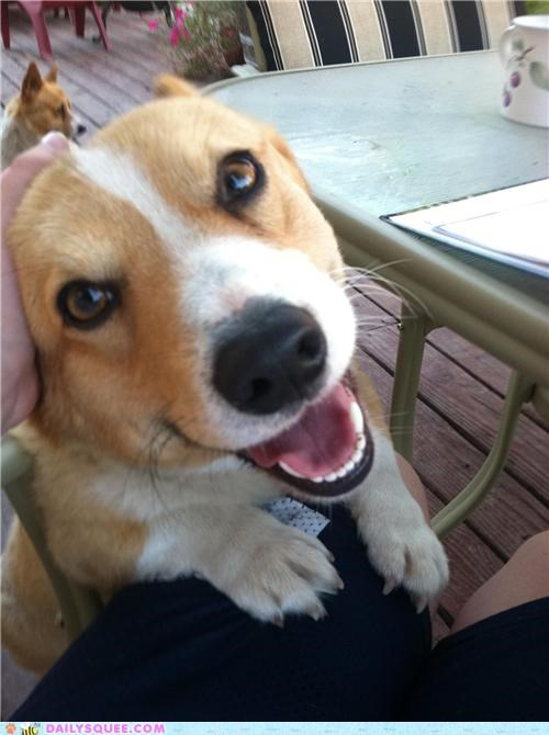corgi,corgis,cuddling,dogs,excited,happiness,happy,love,outside,reader squees,resting