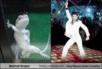 bearded dragon dancing disco Hall of Fame john travolta lizard reptile saturday night fever tony manero white suit