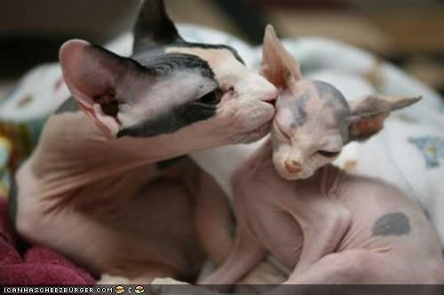 baby cyoot kitteh of teh day family hairless kissing mom nekkid sphynx - 5203762944