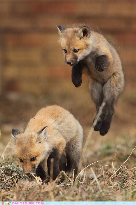 acting like animals Babies baby bad idea countdown fox foxes grounding kit kits pending pounce pouncing