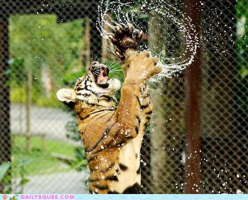 acting like animals ballerina ballet dancing dream come true ego egoistic jumping performing pretentious tiger water - 5203845376
