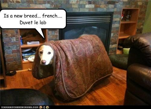 Is a new breed... french.... Duvet le lab