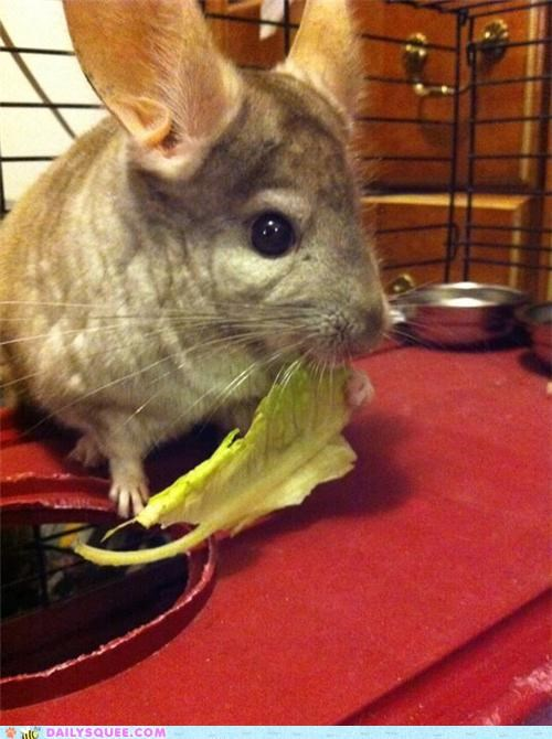chinchilla,eating,lettuce,no1curr,nomming,noms,priorities,reader squees