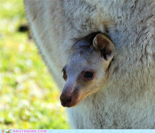 Babies baby contest Joey joeys kangaroo kangaroos marsupial marsupials poll squee spree wallabies wallaby - 5207211264