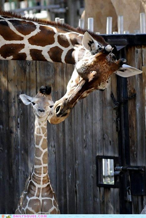 baby comparison cuddling family giraffes Hall of Fame happiness happiness is a warm gun head john lennon lolwut love mother nuzzle nuzzling the Beatles warm - 5207293440