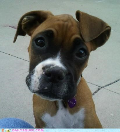 boxer dogs happy lovable puppy reader squees sweet - 5209136896