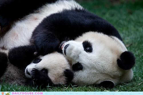 baby cuddle cuddle puddle cuddling Hall of Fame panda panda bear panda bears parent puddle