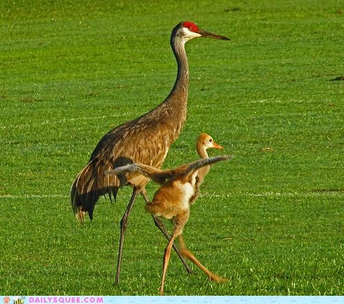 adorable,baby,chick,crane,legs,mother,shaky,unsteady,walk,walking,wobbling,wobbly