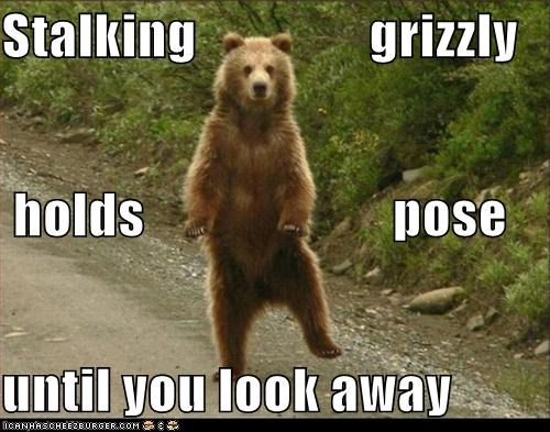 animals,bears,freeze,grizzlies,grizzly bears,I Can Has Cheezburger,poses,stalking