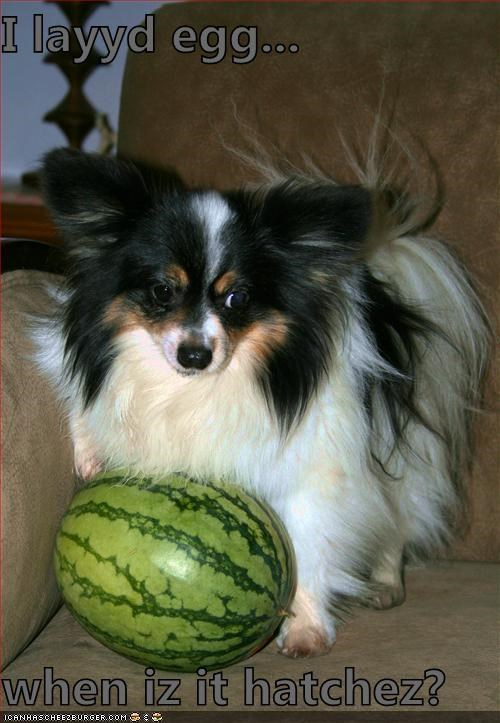 egg layed and egg papillon watermelon what now - 5212894720
