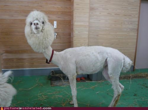 NOW I know what a shaved llama looks like.