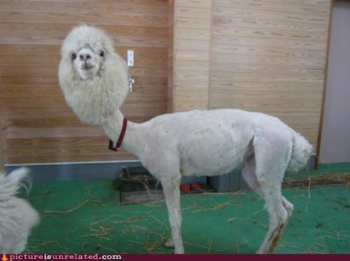 animals llama skinny wtf - 5214673920