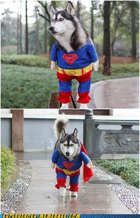 animals best of week costume dogs Super Costume superman - 5220480256