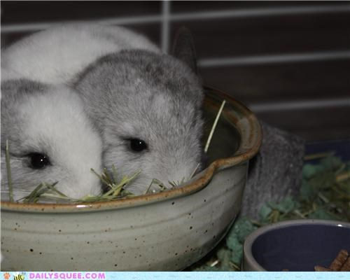 Babies baby chinchilla chinchillas dinner excited fighting meal noms reader squees - 5220620544