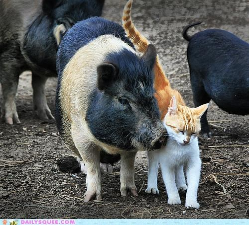 cat,cuddling,friends,friendship,hogging,Interspecies Love,nuzzling,pig,pun