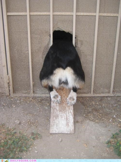 acting like animals,corgi,dogs,door,fat,mistake,oops,regret,size,stuck