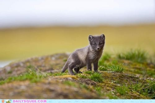 adorable arctic fox baby fox kit misleading nomenclature warm - 5220827904