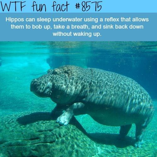 funny hippo fun facts - 5220869