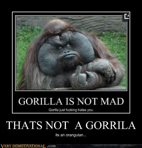 finger,gorilla,hilarious,orangutan