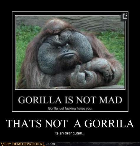 THATS NOT A GORRILA its an orangutan...