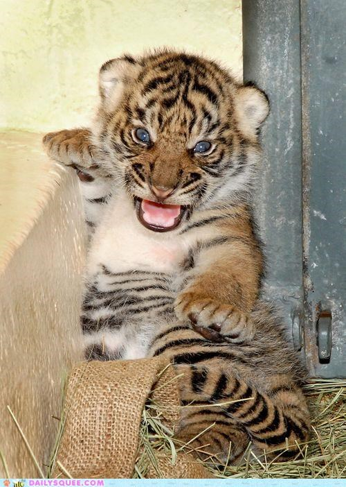 adorable Babies baby cub cubs Hall of Fame litter mother tiger tigers - 5222942976