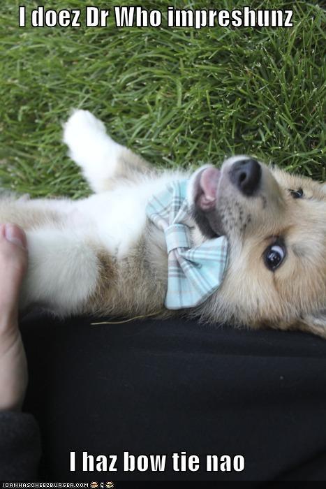 bow tie bowtie clothes corgi doctor who fashion impression puppy smiling - 5223408640