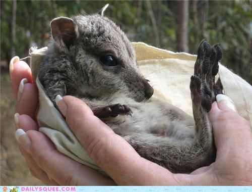 adorable baby ball-shaped completeness curled up squee spree tiny wallaby - 5223935232