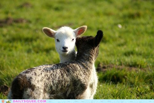 attraction Babies baby black color lamb magnetism opposites opposites attract sheep white wool - 5224077824
