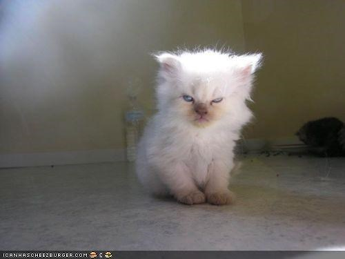 cyoot kitteh of teh day expressions facial grumpy moods moody - 5224253440
