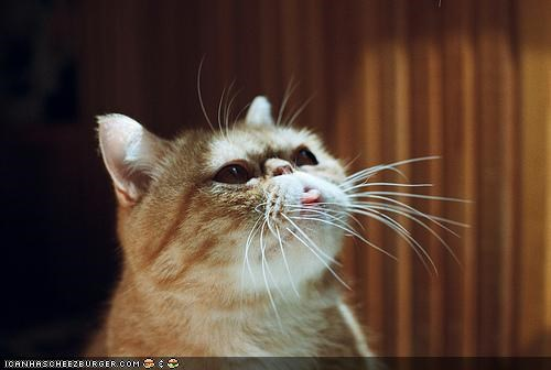cyoot kitteh of teh day sun sunshine tongue tongue out tongues - 5224267264