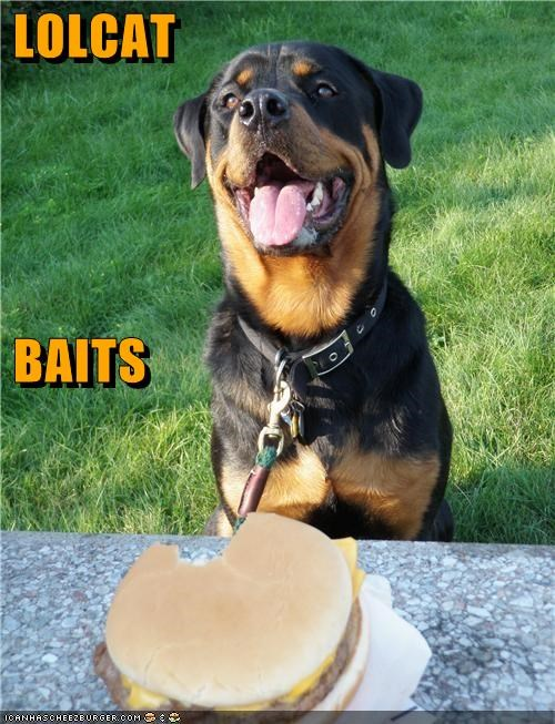 bait,cat,cheeseburger,its a trap,lolcats,Rotweiler,trap