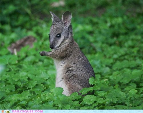baby comparison four-leafed clover Joey lucky lucky charm misconception myth squee spree truth wallaby - 5227762688
