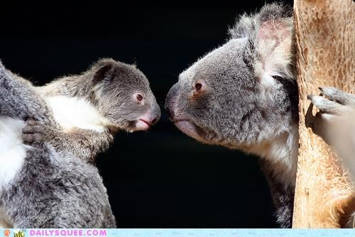 adult,baby,competition,contest,game,koala,koalas,rules,squee,Staring,staring contest