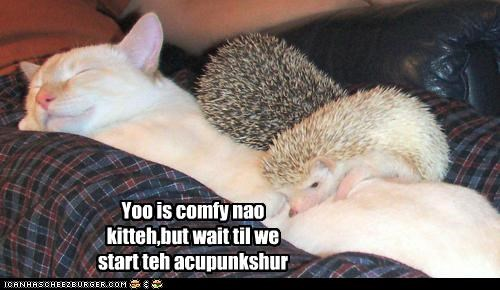 acupuncture,caption,captioned,cat,comfortable,comfy,hedgehog,hedgehogs,now,sleeping,start,wait,you
