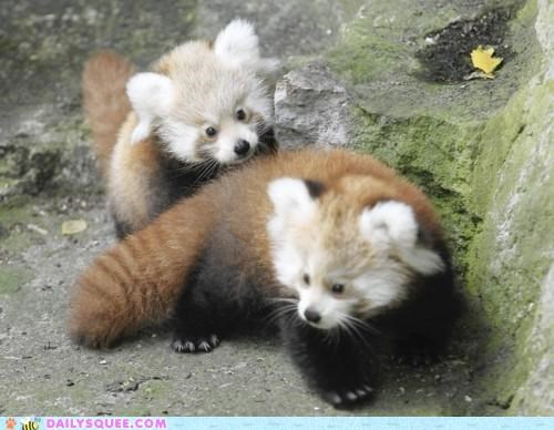 adorable Babies baby cub cubs filled Hall of Fame quota red panda red pandas twins unbearably squee - 5231303168