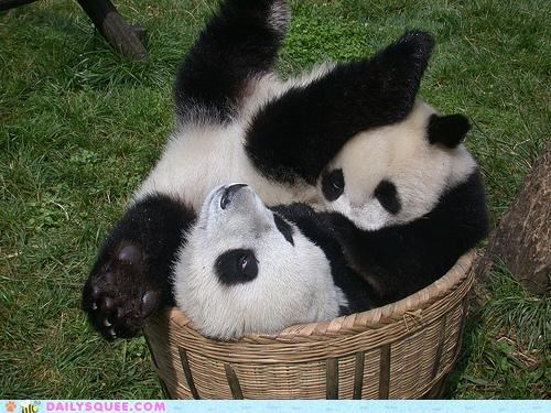 acting like animals,argument,bed,cramped,fit,panda,panda bear,panda bears,size,tight