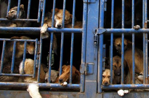 China Dog Eating Festival Internet Outrage - 5240975104