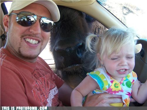 Animal Bomb,animals,baby,buffalo,car,driving