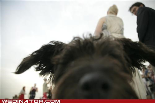 dogs,funny wedding photos,photobomb