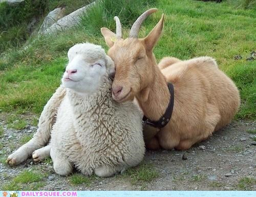 cuddling,friends,friendship,goat,Hall of Fame,happy,Interspecies Love,sheep,smiling