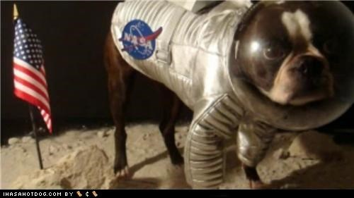 apollo 11 astronaut boston terrier clothes costume dog in space dogtober dress up halloween halloween costume howl-o-ween moon landing moon walk nasa october space dog space suit