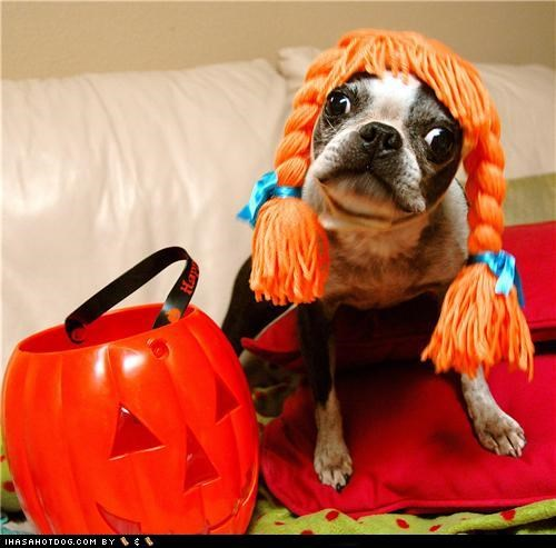 boston terrier,clothes,costume,dogtober,halloween,halloween costume,howl-o-ween,october,pigtails,wig